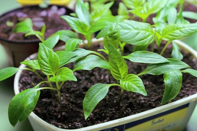 семена агератума на рассаду